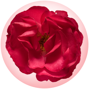 oso easy double red rose macro