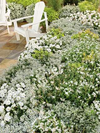 diamond frost garden bed 2