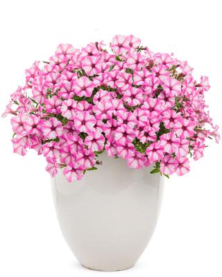 Supertunia Mini Vista Pink Star Petunia