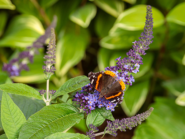 pugster blue buddleia with butterfly