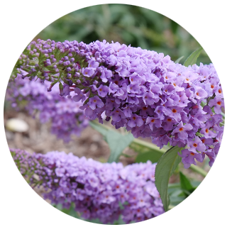 pugster blue buddleia closeup