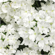 superbena whiteout verbena