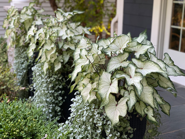 white wonder caladium front porch