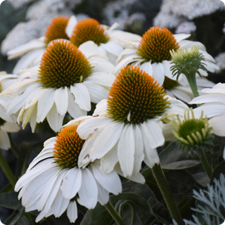 color coded the price is white echinacea